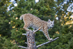 Bobcat on stump. The feline bobcat Lynx rufus climbs on the tree stump in the forest Royalty Free Stock Images