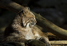 Bobcat in the Sun Royalty Free Stock Photography