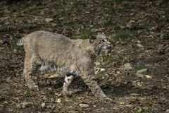Bobcat surrounded by Fall leaves stock photo