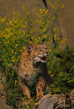 Bobcat in Sweet Clover Stock Photography