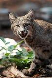 Bobcat toont zijn tanden en onderzoekt camera (Lynxrufus), Calif Royalty-vrije Stock Afbeeldingen