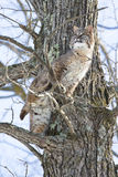 Bobcat on top of tree Royalty Free Stock Images