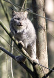 Lynx Bobcat in Tree Focusing on Located Prey Royalty Free Stock Photos