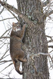 Bobcat in tree for safety Stock Photography
