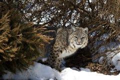 Bobcat V. Bobcat (Felis rufus) in snow Royalty Free Stock Images