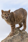 Bobcat vertical portrait. With blue sky in background Stock Image