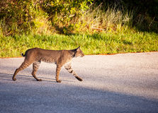 Bobcat. A bobcat walking across the road in Florida Royalty Free Stock Photo