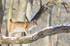 Bobcat walking across tree branch Royalty Free Stock Photography