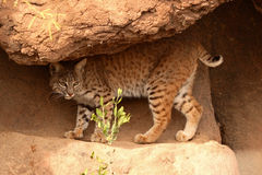 Bobcat Walking Along Rocky Path. A Bobcat walking along the worn-in path of a rocky desert grotto Royalty Free Stock Photography