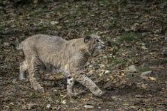 Bobcat Walking door een Opheldering die omhoog eruit zien stock foto's