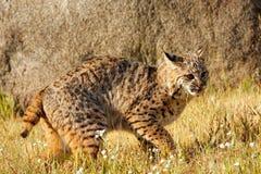 Bobcat walking in a grass. Bobcat (Lynx rufus) walking in a grass Royalty Free Stock Photography
