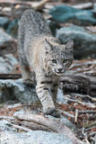 Bobcat walking in sticks and boulders Royalty Free Stock Images