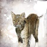 Bobcat Watercolor. Digital Painting Of Bobcat Portrait Stock Images