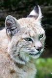 Bobcat. White bobcat  stalking his prey Royalty Free Stock Photos