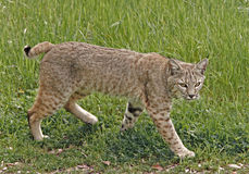 Bobcat. Wild adult bobcat walking through a meadow in northern California Stock Photography