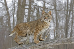 Bobcat in winter coat. Bobcat walking on fallen tree. Northern Minnesota Stock Photos