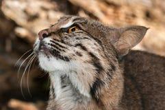 Bobcat & x28; Lynx rufus& x29; Kijkt omhoog Dicht omhoog Stock Fotografie