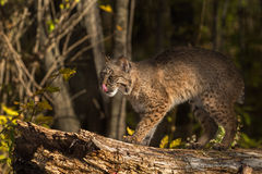 Bobcat (Lynx rufus) Licks Nose Royalty Free Stock Photography