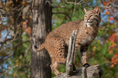 Bobcat (Lynx rufus) Looks Left from Atop Branch Stock Images