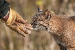 Bobcat & x28;Lynx rufus& x29; Sniffs Handler& x27;s Gloved Hand Royalty Free Stock Photo