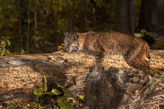 Bobcat & x28; Lynx rufus& x29; Stelt op Logboek Stock Afbeeldingen