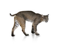 Bobcat. A Young Bobcat On White Background Royalty Free Stock Photography