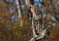 Bobcaten (lodjurrufus) står uppe på journal Fotografering för Bildbyråer
