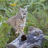 Bobcatkvinnlign och behandla som ett barn kattungar på journal Royaltyfria Foton