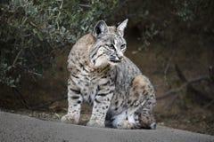 Bobcats Stock Photography
