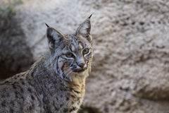 Bobcats Stock Images