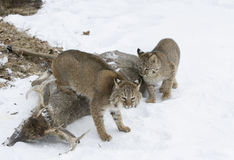 Bobcats in Northern Minnesota. Bobcat with her kit have found a winter kill Stock Photography