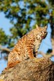 Bobcatsammanträde på en vagga Fotografering för Bildbyråer