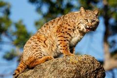Bobcatsammanträde på en vagga Arkivbild