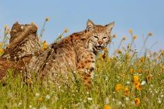 Bobcatsammanträde i ett gräs med blommor Fotografering för Bildbyråer