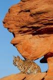 Bobcatsammanträde på rött vaggar Royaltyfri Foto