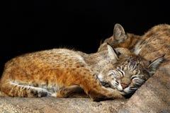 bobcatskattungar Arkivfoton