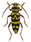 Bobelayei di Plagionotus, uno scarabeo della mucca texana che imita una vespa Fotografia Stock Libera da Diritti