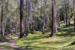 Bobina della strada non asfaltata attraverso Sunny Evergreen Forest immagini stock
