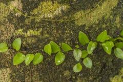 Bobina della vite intorno all'albero Fotografia Stock Libera da Diritti