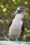 Bobo alzado azul, las Islas Gal3apagos, Ecuador Foto de archivo libre de regalías