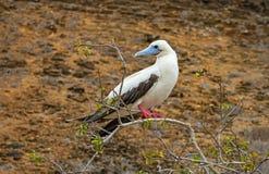 Bobo con base rojo en las islas de las Islas Galápagos, Ecuador imagen de archivo libre de regalías