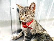 Bobo - gato doméstico Imagens de Stock Royalty Free