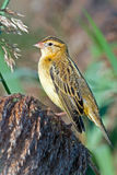 Bobolink. A female bobolink perched on a reed Stock Images