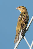 Bobolink. A female bobolink perched on a reed Stock Photos