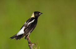 Bobolink male Stock Images