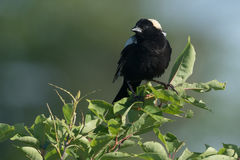 Bobolink Royalty Free Stock Photography