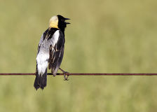 Bobolink Singing Stock Image