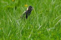 Bobolink Royalty Free Stock Images