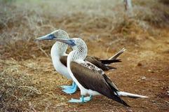 Bobos alzados azules de las Islas Gal3apagos Foto de archivo libre de regalías