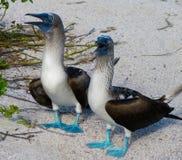 bobos Azul-footed Fotografía de archivo libre de regalías